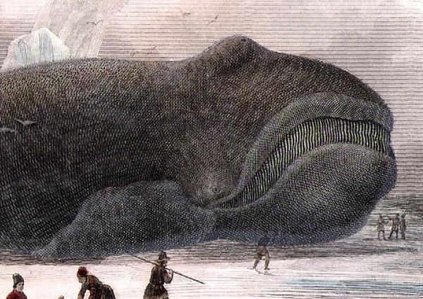 セミクジラの画像 p1_27